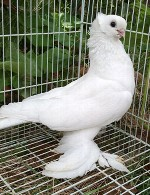 آموزش علمی پرورش کبوتر