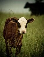 پرواربندی گوساله 75 رأسی