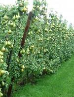 باغداری و پرورش میوه
