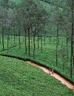 تولید چایی صنعتی