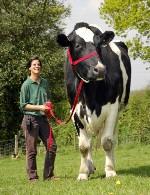 پرورش گاو شیری 20 رأسی