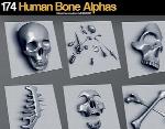 174 آلفای استخوان انسانGumroad 174 Human Bone Alphas