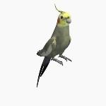 Australian Cockatiel V2